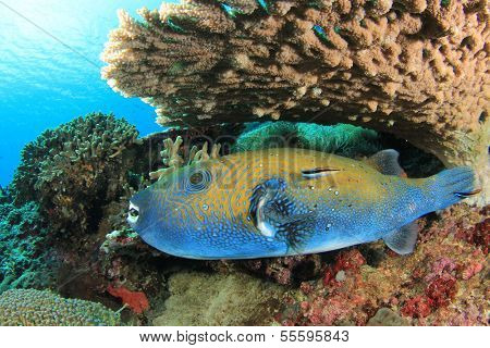 Bluespotted Pufferfish under table coral with cleaner wrasse