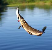 foto of troll  - Fluttering pike caught by trolling in summer evening - JPG