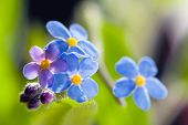 picture of forget me not  - Cute Flower Forget me not - JPG