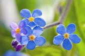 stock photo of forget me not  - Cute Flower Forget me not, close up