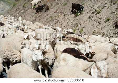 Herd Of Sheep And Kashmir Goats From Indian Farm