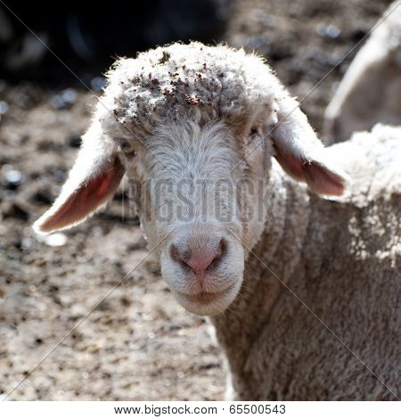 White Sheep From Indian Highland Farm