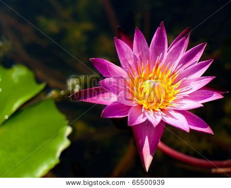Close Up Beautiful Pink Lotus Flower Growing In Pond At Tropical Garden In Thailand