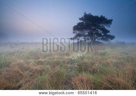 Pine Tree On Marsh At Misty Sunrise