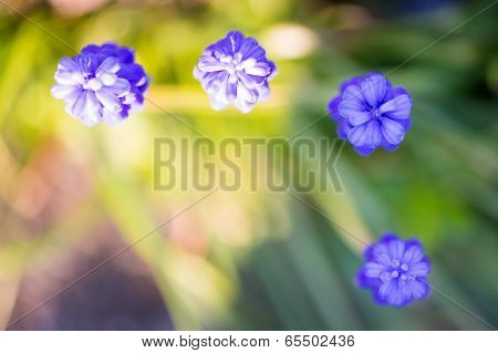 three blue grape hyacinth with bird's eye view in garden