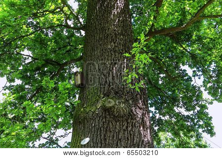 Old large oak (quercus robur) in a park