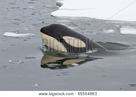Portrait Of Orcas Or Killer Whale 1