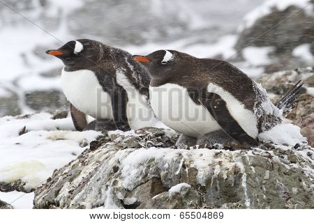 Two Gentoo Penguins In The Snow 1
