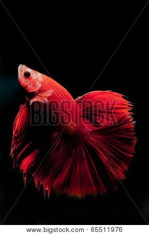 Thailand fighting fish long tail