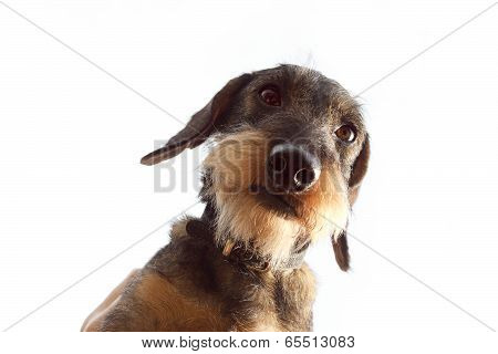 Wirehaired Dachshund Dog On White Background Close Up