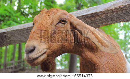 A Curious Goat