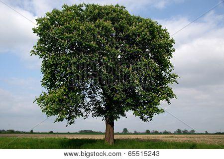 Lonely tree.