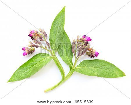 The Common Comfrey (Symphytum officinale) have been used in the traditional medicine for treatment of disorders of the locomotor system, gastrointestinal tract, rheumatism and gout.