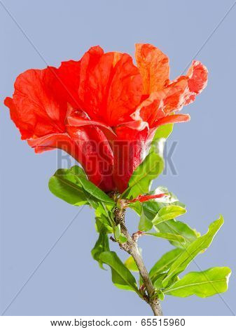 Bright Red Pomegranate Flowers Ovary And Petals