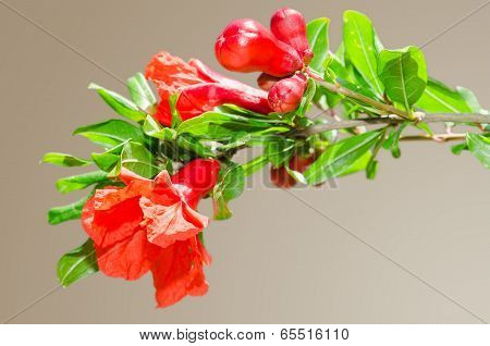 Sunlit Branch With Spring Red Pomegranate Blossom