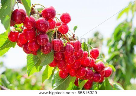 Sunlit Branch Of Cherry Berry Tree
