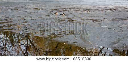 Ducks on a half icebound pond