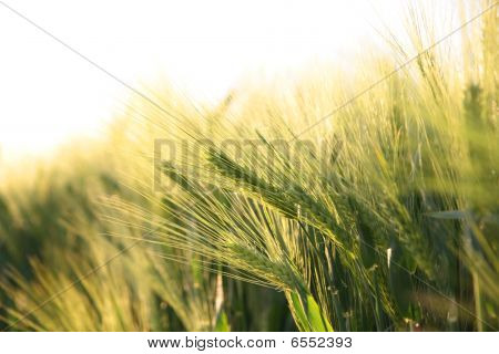 Sunny Ripe Crop - Yellow Corn Field During Sunrise