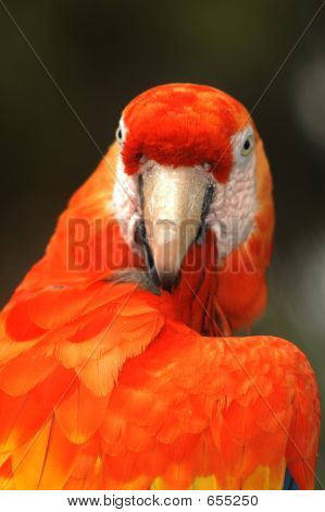Scarlet Macaw Parrot3