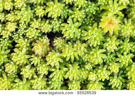 Crassula Leaves
