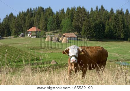 cow in Kamena Gora Highland, Serbia
