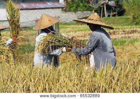 Rice Harvesting In Bali, Indonesia