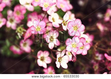 Mossy Saxifrage Flowers