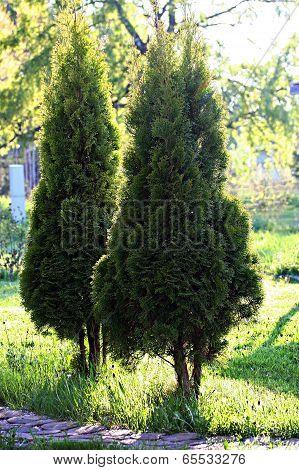 Arbor Vitae In Garden