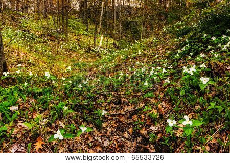 Trilliums In The Valley - Wide