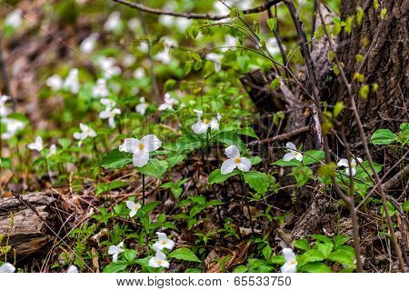Trilliums Growing Around A Tree With Fallen Branches