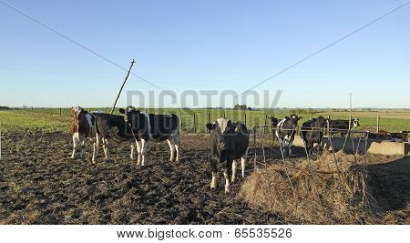 Cows With Black And Brown Stains On The American Pampas.