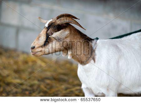 Curious Goat On A Leash