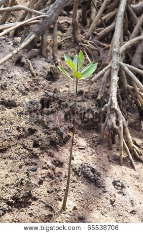 young mangrove tree in sand at reforeststion