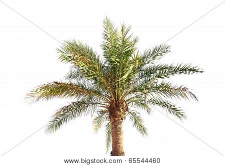 Big Date Palm Tree Isolated On White Background