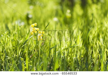 Yellow Cowslip Or Primrose Flower Grow In Grass