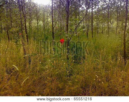Poppy in grove