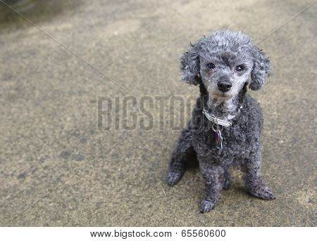 Poodle looks at camera sitting on concrete