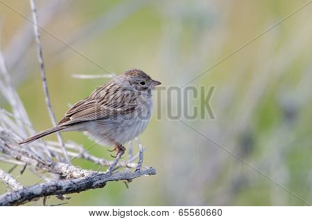 Brewer's Sparrow (spizilla Breweri)