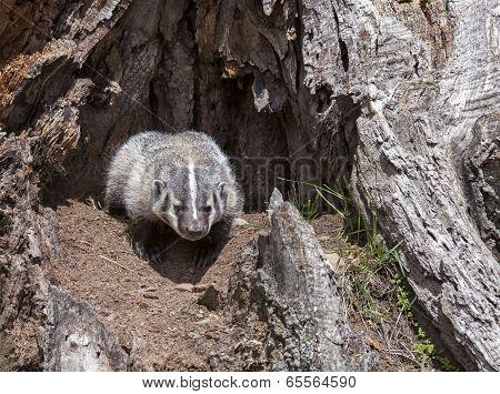 American badger cub