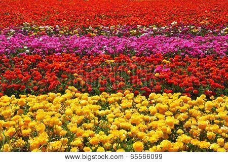 Flowers planted with broad bands of bright colors - red, yellow and pink. Field of multi-colored decorative buttercups