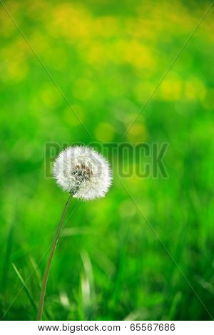 Alone Dandelion
