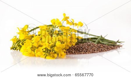 Isolated rape flower with blossoms on white background