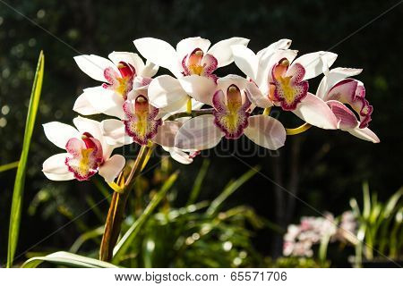 Cymbidium Or Boat Orchids