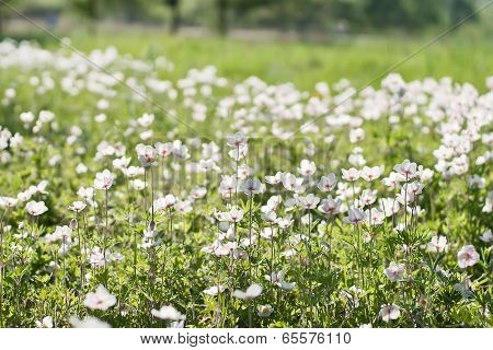 White Flowers In The Field