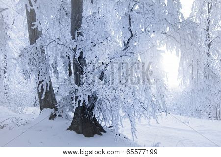 Frozen tree in winter forest