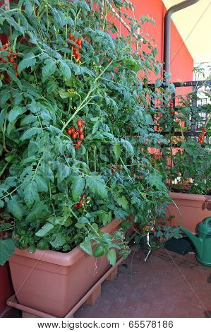 Potted Tomato Plants On The Terrace Of The Residence