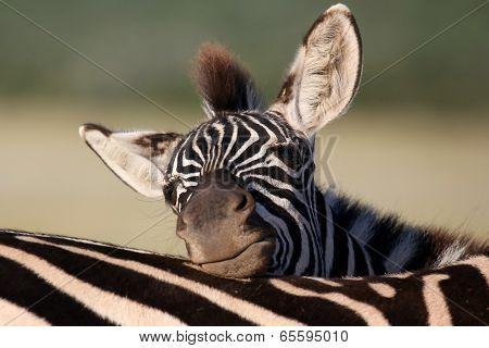 Zebra Foal Resting