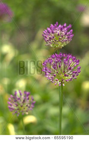 Purple Allium Trio