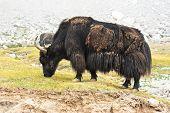 pic of yaks  - Close up wild yak in Himalaya mountains - JPG