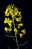 stock photo of rape-seed  - Detail of rape seed bloom isolated on black background - JPG